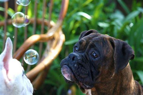 Best 25+ Boxer Love Ideas On Pinterest