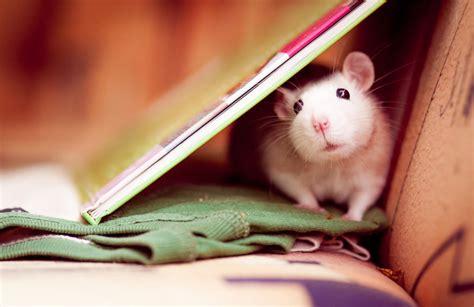 rats  cute  adorable  thaumaturgical