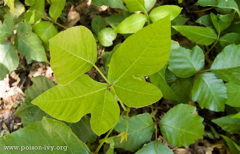 how many leaves does poison unusual poison ivy the poison ivy poison oak poison sumac site