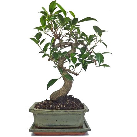 feeding fig trees in pots ficus fig indoor bonsai tree 18cm pot with drip tray