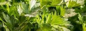 Celeri Branche Culture : liveche ou ache des montagnes plant l gumes perp tuels ~ Melissatoandfro.com Idées de Décoration