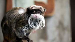Emperor Tamarin | Zoological Society of London (ZSL)