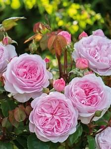 Langage Des Fleurs Pivoine : pingl par esther sur fleurs jardin garden rosier david austin et fleurs ~ Melissatoandfro.com Idées de Décoration