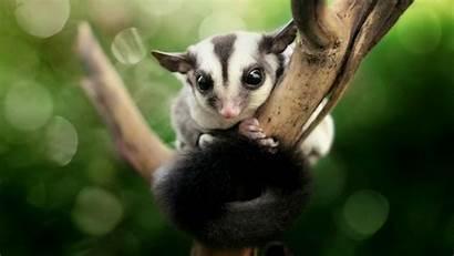 Glider Sugar Possum Animals Gliders Petaurus Funny