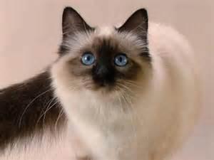 list of hypoallergenic cats hypoallergenic cat breeds list