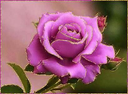 Roses Purple Rose Wallpapers Flowers Pink Lilac