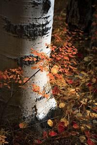 Aspen, Tree, Art, Colorado, Art, Rustic, Cabin, Decor, Fall, Photo