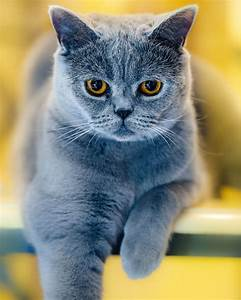 360 best images about British Shorthair Blue on Pinterest ...
