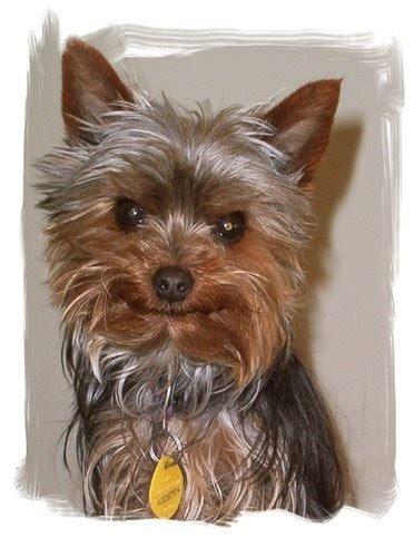 Miniature Yorkshire  Ee  Terrier Ee   Yorkie Rescue