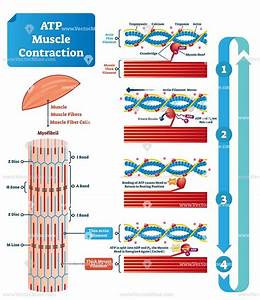 Atp Muscle Contraction Cycle Vector Illustration Labeled Scheme