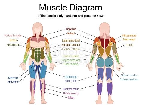 muscle diagram   female body  accurate