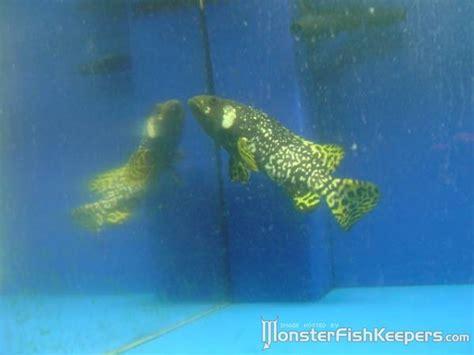 grouper freshwater fresh water bee bubble famous