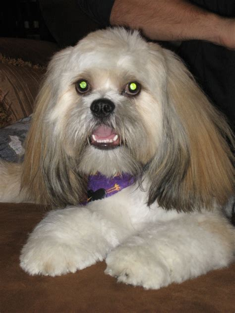 1061 best images about shi tzu and lhasa apso love dogs on
