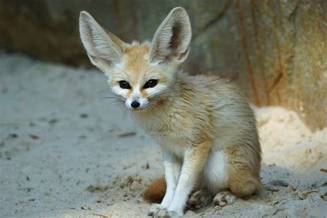 Fennec Fox Ive Loved Fennec Foever Since I Knew