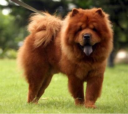 Chow Cutest Wallpapers Dogs Span Breeds Sweet