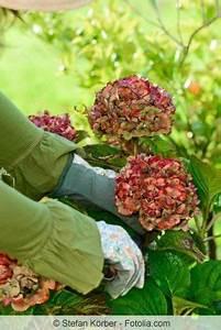 Hortensien Schneiden Anleitung : die besten 25 hortensien ideen auf pinterest hortensie ~ Lizthompson.info Haus und Dekorationen