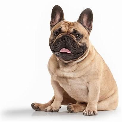 Bulldog Frenchie French Dog Dams Sires