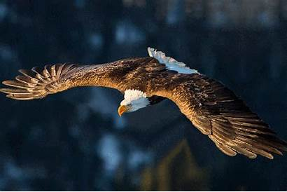 Eagle Flying Being Animals Paul Wings Royal