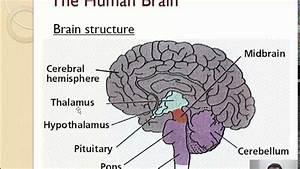 A 2 - Brain Structure  1  2