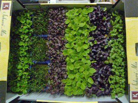 grow your own microgreens a beginner s guide to growing your own microgreens eco