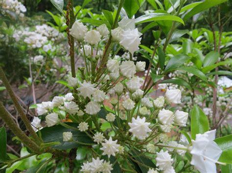 pictures of mountain laurel shrubs mountain laurel plants photos from sutton massachusetts