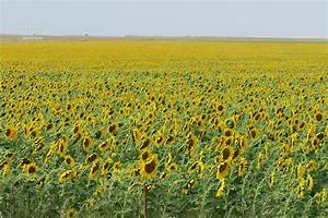 10, Beautiful, Sunflower, Fields, You, Can, Visit, Today