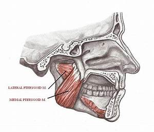 Doctors Gates: Action of lateral vs. medial Pterygoid ...