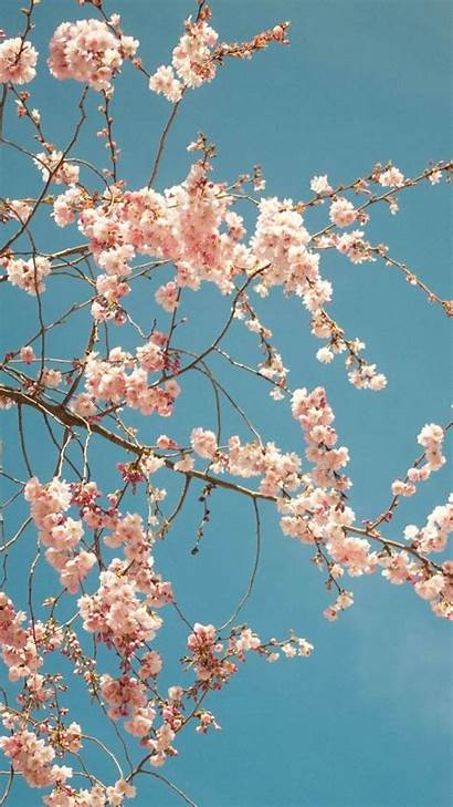 Blossom Cherry Backgrounds Tree Iphone Plus