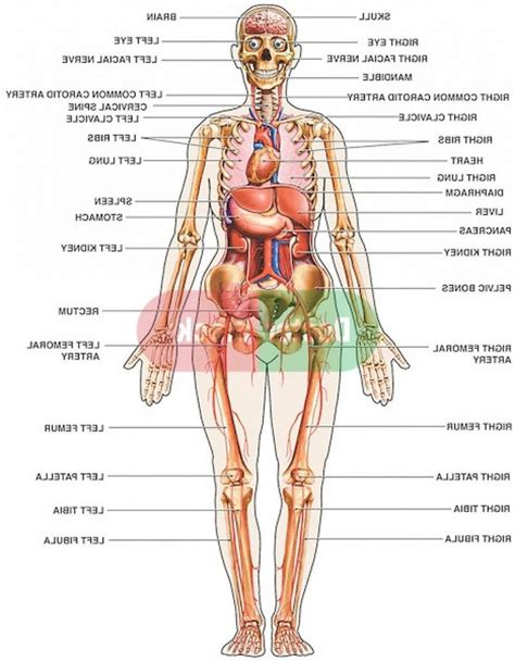 Internal organs are linked together to form a system that has one or more major roles. Human Body Diagram Female Back View