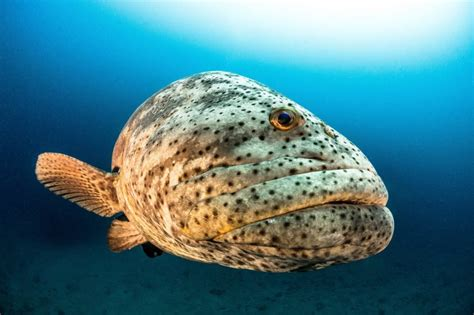 grouper goliath endangered florida critically mission protect save ocean killing