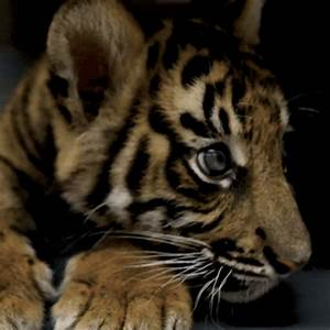 baby tiger gif | Tumblr