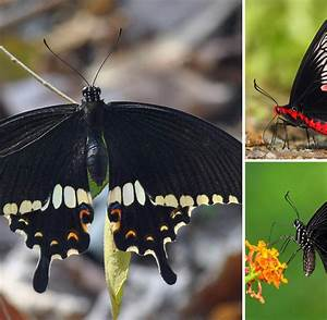 Schmetterling Am Kinderbett : schmetterlinge einzelnes gen bestimmt muster der fl gel ~ Lizthompson.info Haus und Dekorationen