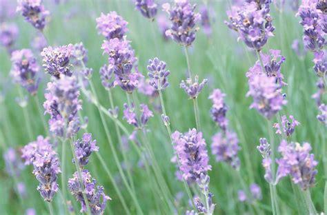 lavender plants in florida m j lavender farm