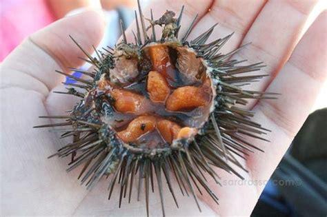 eat fresh sea urchin  eats