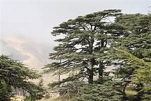 Cedar of Lebanon - Garden In Delight
