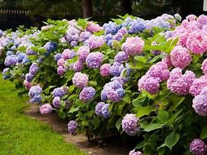 Pruning Hydrangeas DIY