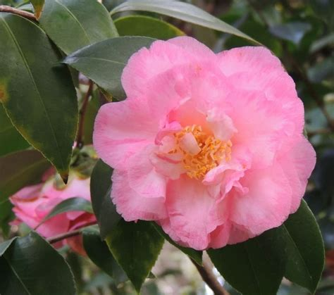 common california flowers plantfiles pictures common camellia japanese camellia spring sonnet camellia japonica by