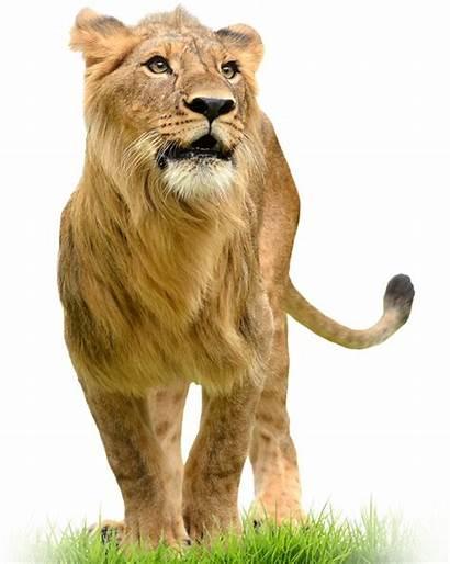 Animals Lion Animal Species Worlds Encyclopedia