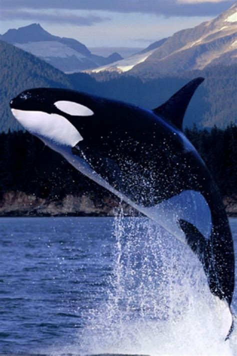 Looking for the best orca whale wallpaper? Whale iPhone Wallpaper HD