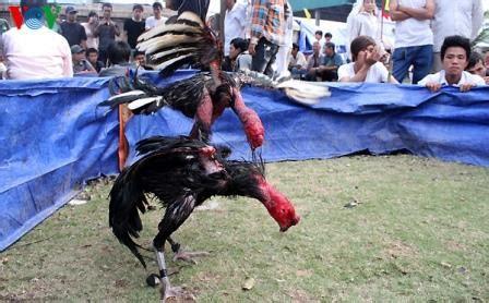 Mengenal ayam saigon ayam petarung asli datang dari negara. Gambar sabung ayam saigon vietnam di acara festival ~ Ayam ...