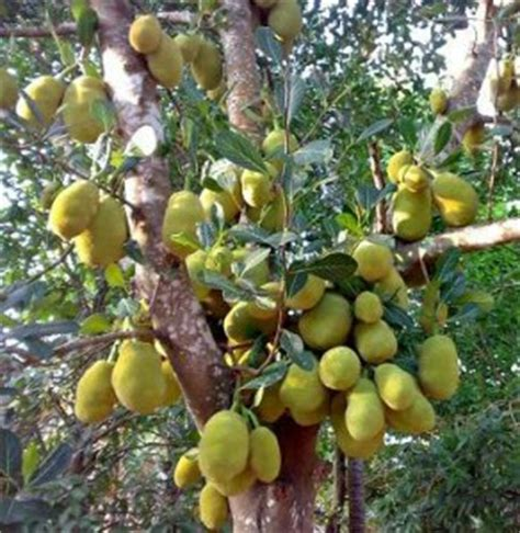 how to grow jackfruit complete growing guide