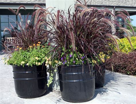 purple grass container ideas 79 best images about fountain grass container on pinterest fall containers ornamental plants
