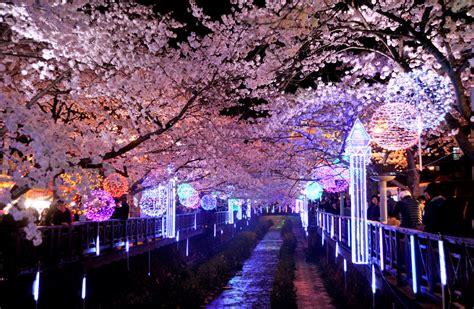 opening  cherry blossom festival   jinhae