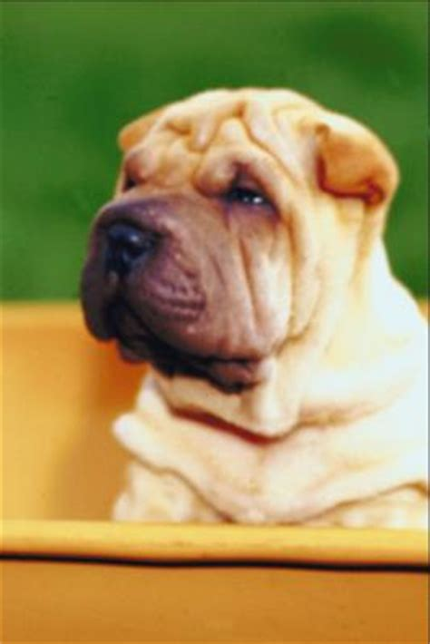 Do Shar Peis Shed Hair shar pei shedding pets