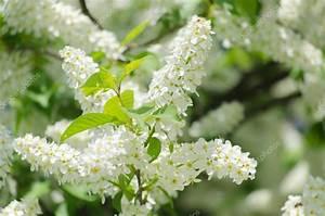 Baum Mit Weißen Blüten : bl te von der vogel kirsche baum mit wei en bl ten ~ Michelbontemps.com Haus und Dekorationen