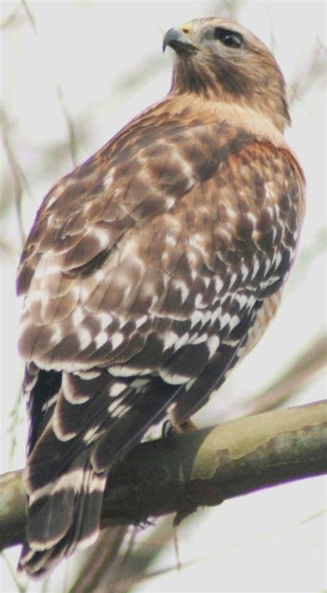 best 28 hawks carolina red shouldered hawk red