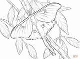 Moth Luna Coloring Pages Realistic Drawing Atlas Printable Drawings Insect Butterfly Line Supercoloring Tattoo Dot sketch template