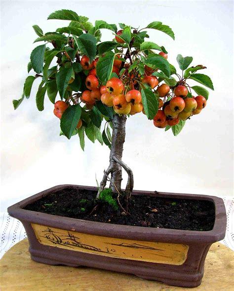 apfelbaum carmens bonsai garten  shop fuer bonsai