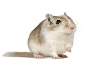 Espérance De Vie Hamster by Photos Gerbille Gerbille 1800 Wamiz