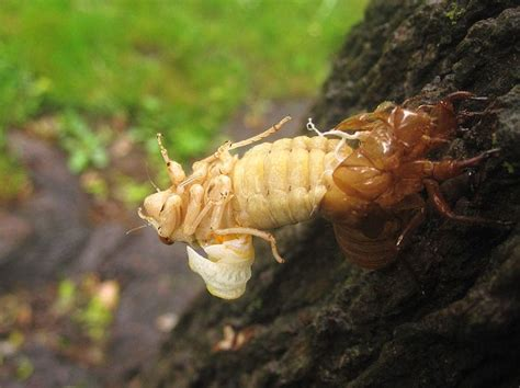 cicada shedding its exoskeleton biodiversity heritage library a special american insect